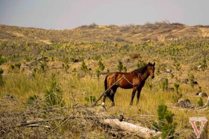 wild horses cape reinga