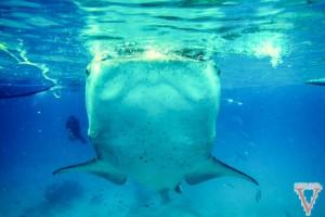 Whale Shark Oslob Philippines