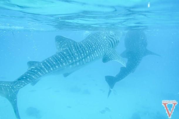 whale shark oslob cebu philippines